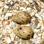 Sooty Oystercatcher Eggs