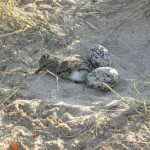 Pied Oystercatcher Hatchling