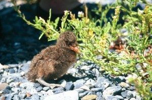 Sooty Oystercatcher Chick