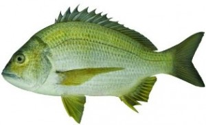 black-bream