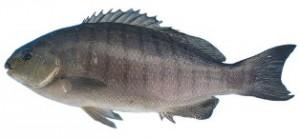 blackfish-Luderick