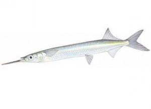 eastern-garfish